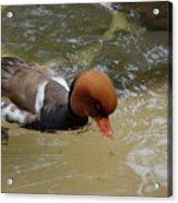 Swimming Duck Acrylic Print
