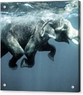 Swimming Elephant Acrylic Print