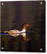 Swimming Female Merganser - Odell Lake Oregon Acrylic Print
