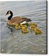 Swimming Geese Acrylic Print