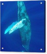 Swimming Humpback Acrylic Print