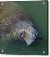 Swimming Manatee Acrylic Print
