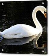 Swimming Swan Acrylic Print