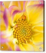 Swirly Dahlia Acrylic Print