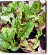 Swiss Chard In A Vegetable Garden 1 Acrylic Print