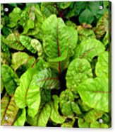 Swiss Chard In A Vegetable Garden 4 Acrylic Print