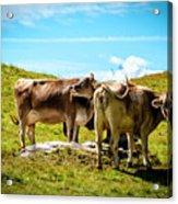 Happy Swiss Cows Acrylic Print
