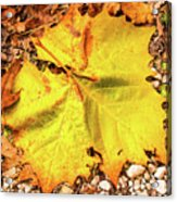 Sycamore Leaf  In Fall Acrylic Print