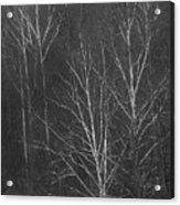 Sycamore Series 1 Acrylic Print