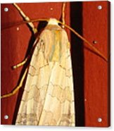 Sycamore Tussock Moth Acrylic Print