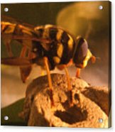 Syrphid Fly On Fossil Crinoid Acrylic Print