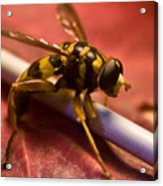 Syrphid Fly Poised Acrylic Print
