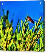 Syrphid Fly  Acrylic Print