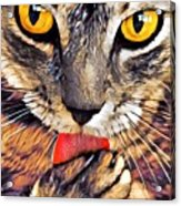Tabby Cat Licking Paw Acrylic Print