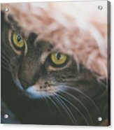 Tabby Cat Looking From Beneath A Blanket  Acrylic Print