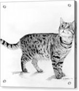 Tabby Cat Looking Up Acrylic Print