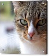 Tabby Cat Portrait Acrylic Print