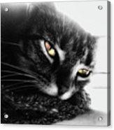 Tabby Cat Selective Color Acrylic Print