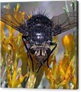 Tachinid Fly Acrylic Print