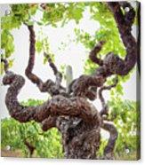 Tai Chi Vine Acrylic Print