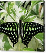 Tailed Jay Butterfly #2 Acrylic Print