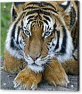 Takin A Break Tiger Acrylic Print