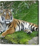 Takin It Easy Tiger Acrylic Print