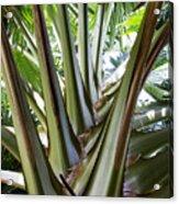 Talipot Palm Acrylic Print