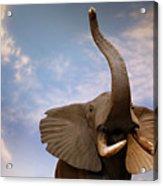 Talking Elephant Acrylic Print