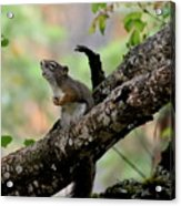 Talking Squirrel Acrylic Print