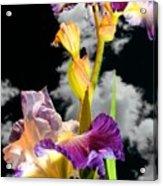 Tall Bearded Iris Acrylic Print