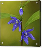 Tall Bellflower Acrylic Print