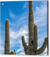 Tall Cacti Acrylic Print