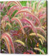 Tall, Colorful, Whispy Grasses In The Sumer Breeze Acrylic Print