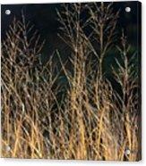 Tall Fall Grasses Acrylic Print