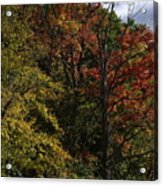 Tall Fall Trees Acrylic Print