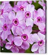 Tall Garden Phlox Acrylic Print
