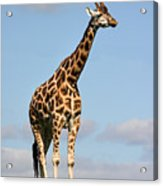 Tall Giraffe In A Field Fota Ireland Acrylic Print