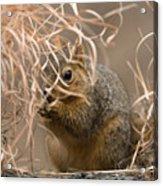 Tall Grasses Make Up A Fox Squirrels Acrylic Print by Joel Sartore