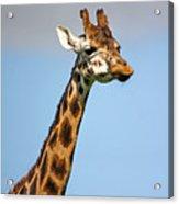 Tall Necked Giraffe Acrylic Print
