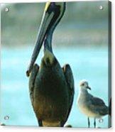 Tall Pelican Acrylic Print