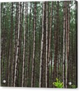 Tall Pines After The Rain Acrylic Print