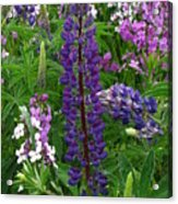 Tall Purple Luppin Acrylic Print