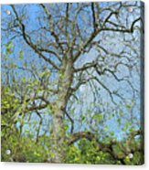 Tall Tree Acrylic Print
