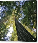 Tall Trees Acrylic Print