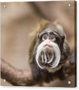 Tamarin Monkey 1 Acrylic Print