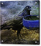 Taming Of The Crow Acrylic Print