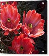 Tangerine Cactus Flower Acrylic Print