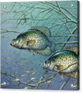 Tangled Cover Crappie II Acrylic Print