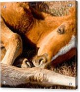 Tangled Foals Acrylic Print